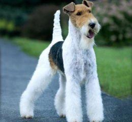 Жесткошерстный фокстерьер - дружелюбие, задор и бесстрашие в одной собаке