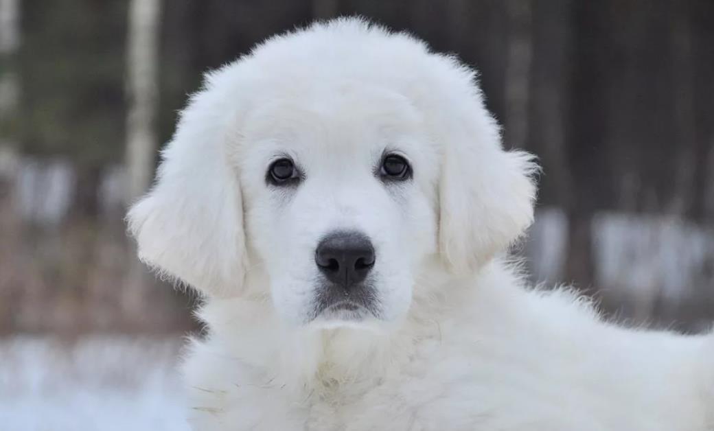 белоснежный щенок куваса