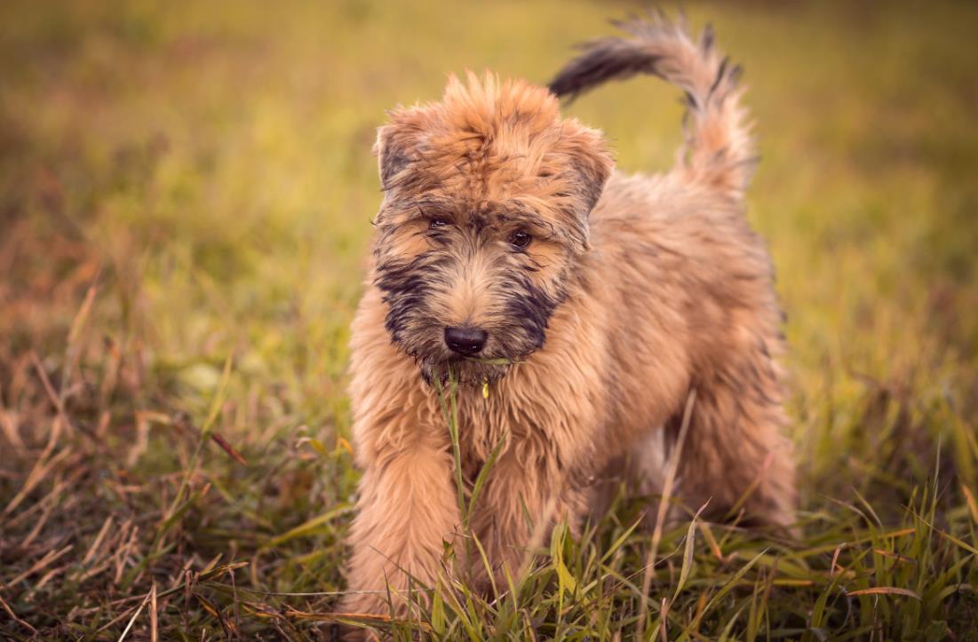 щенок Ирландский мягкошерстный пшеничный терьер
