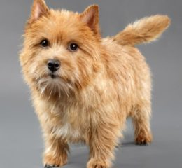 Небольшая, забавная собака родом из Англии - Норвич терьер