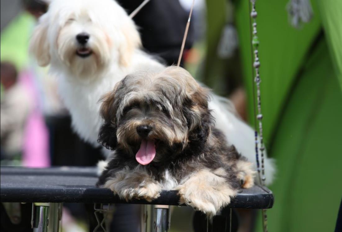 Гаванский бишон фотография собаки