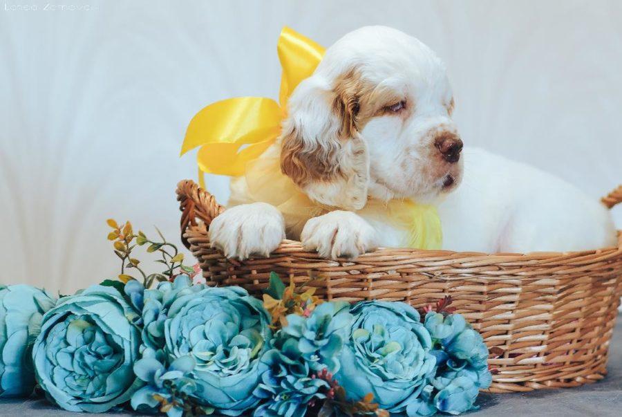 щенок собаки кламбер терьер на фото
