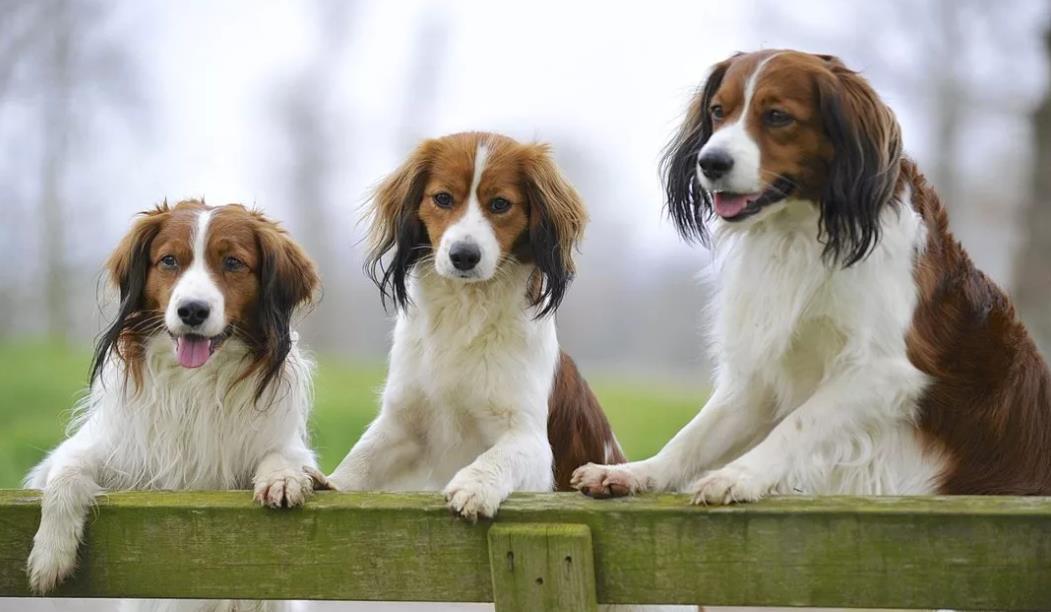 Голландский спаниель - фото собак