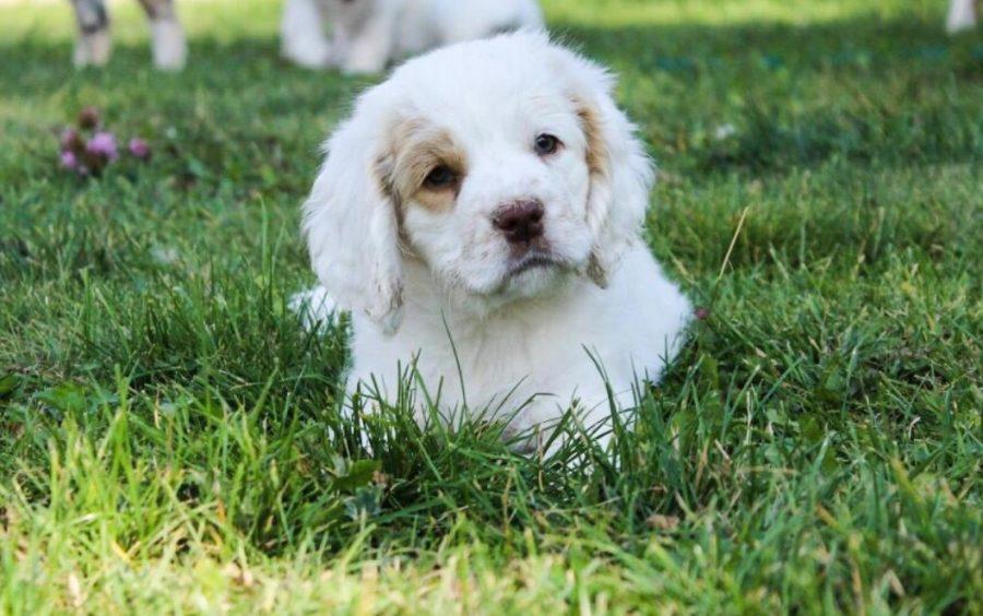 щенок собаки кламбер спаниель