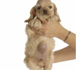 Что делать, если у собаки грыжа: сиптомы с фото, рекомендации по лечению