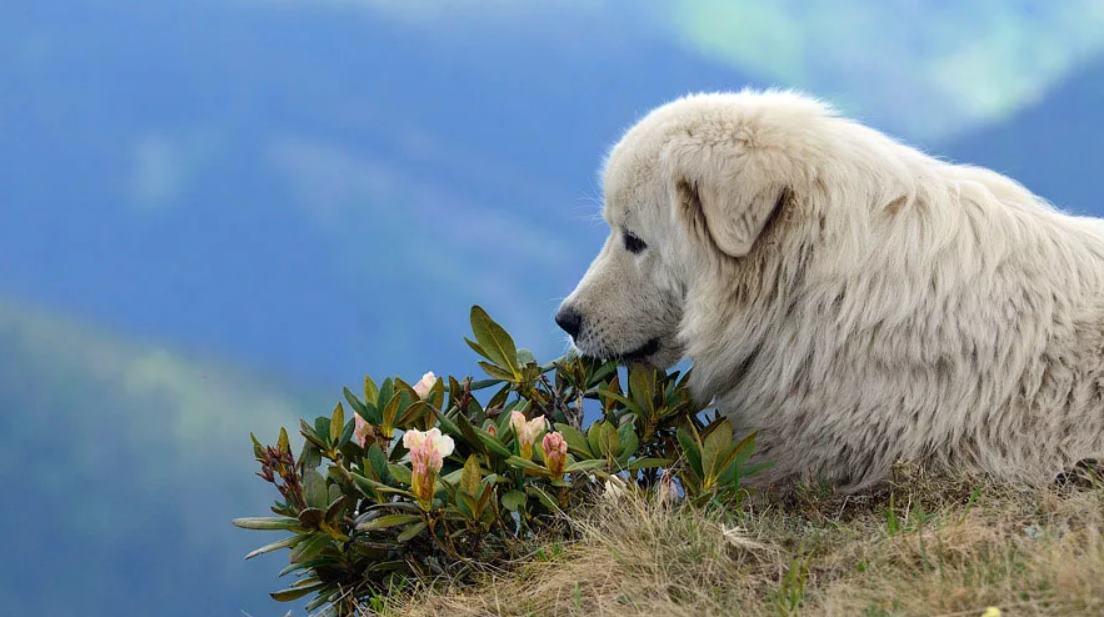Маремма-абруццкая овчарка на фото