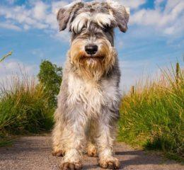 Одни из самых популярных собак - шнауцеры: все разновидности породы с фото