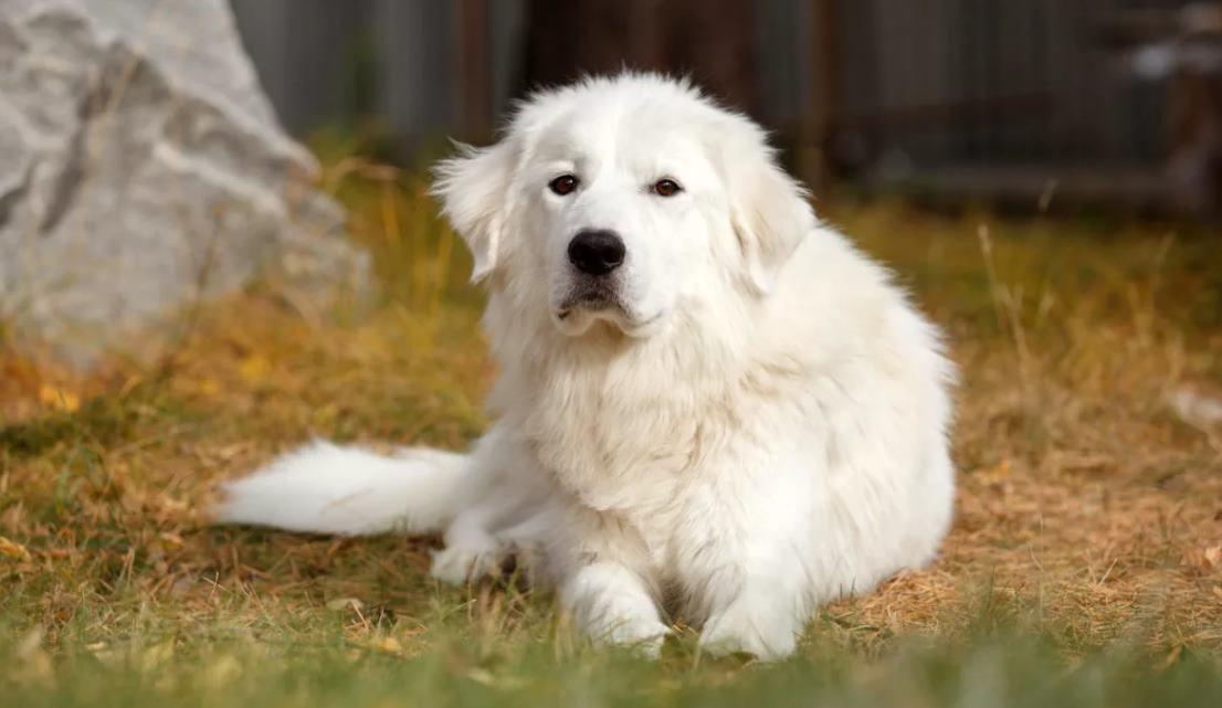 маремма белая овчарка