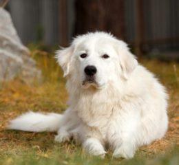 Ласковый и добродушный белый великан - Мареммо-абруццкая овчарка