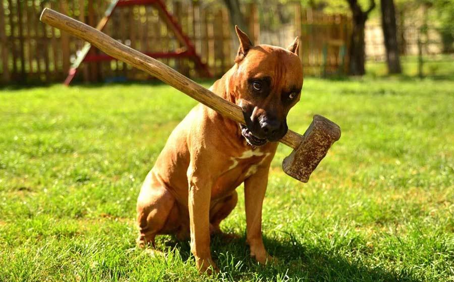сильная собака