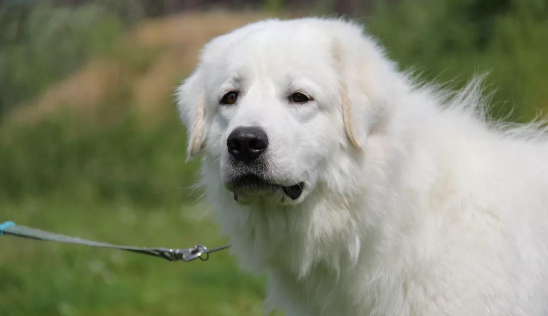 фото собаки маремма