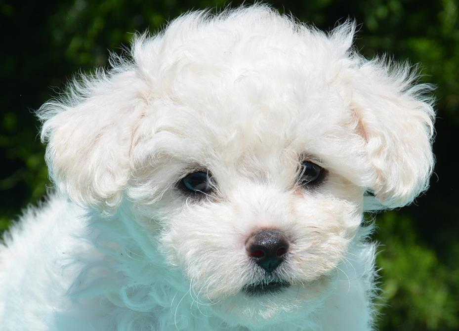 Болоньез щенок