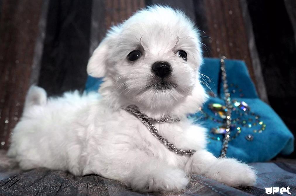 Карликовая мальтезе щенок