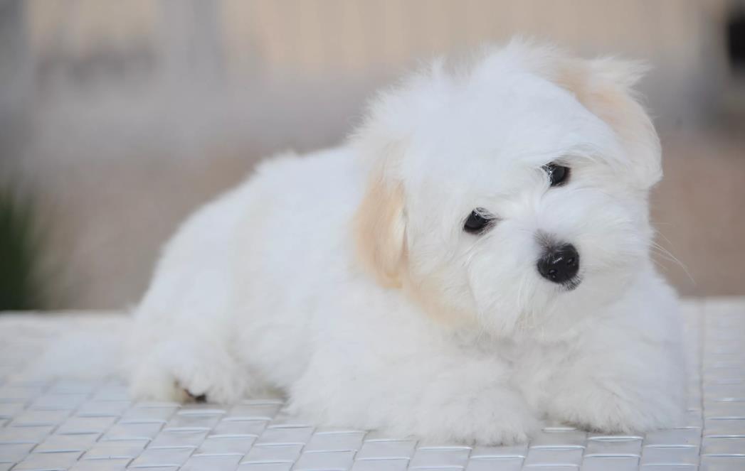 Котон де тулеар фото щенка