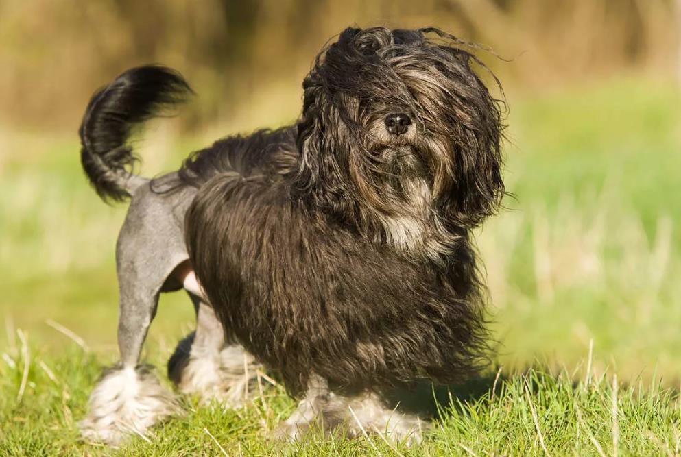Малая львиная собака на фото