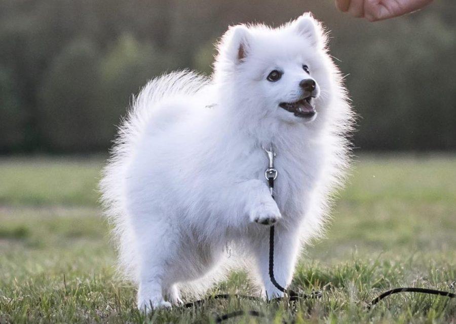 щенок белый шпиц