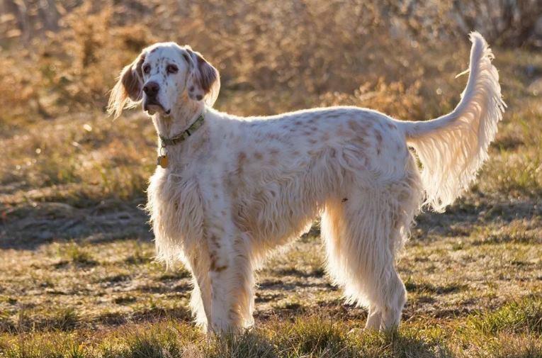 Подружейные собаки - сеттеры: все представители породы