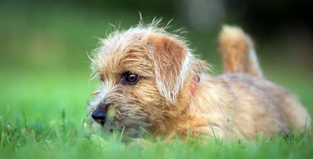 фото щенка норфолк терьера