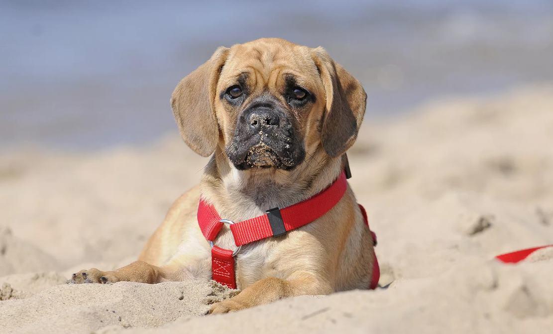 пагль щенок