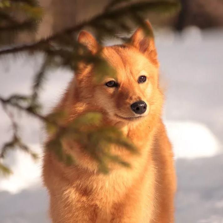 Прекрасный охотник - Финский шпиц или карело-финская лайка