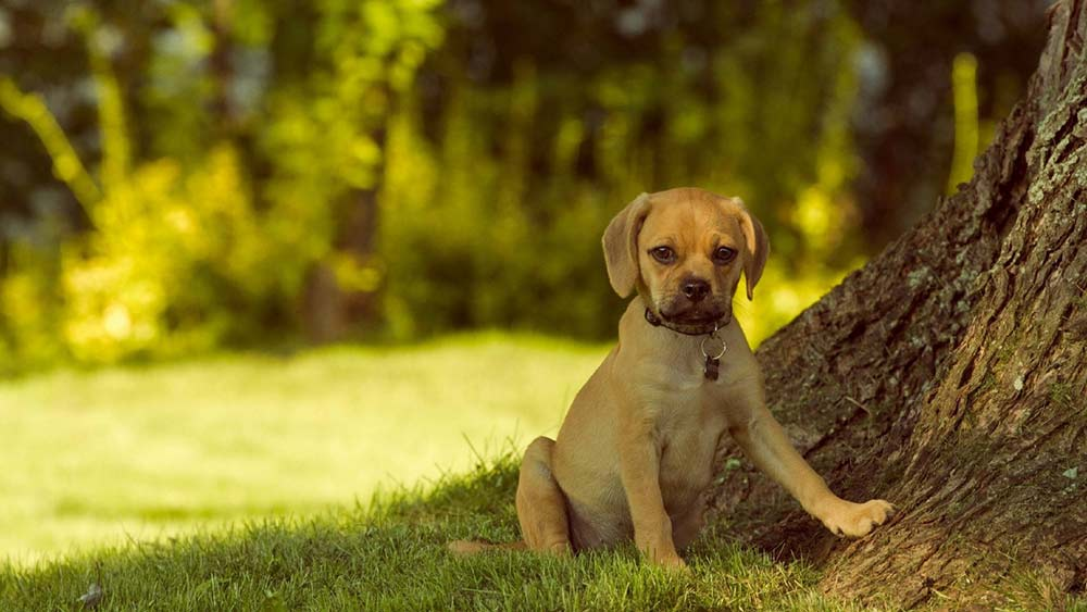фото щенка пагля