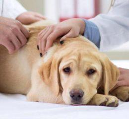 Что такое пиелонефрит у собаки и чем его лечить?