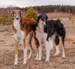 Борзые породы собак - самые быстрые охотники в мире