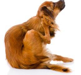 Бывают ли вши у собак, и как от них избавиться?