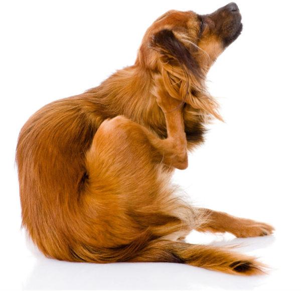 Как вывести вшей у щенка