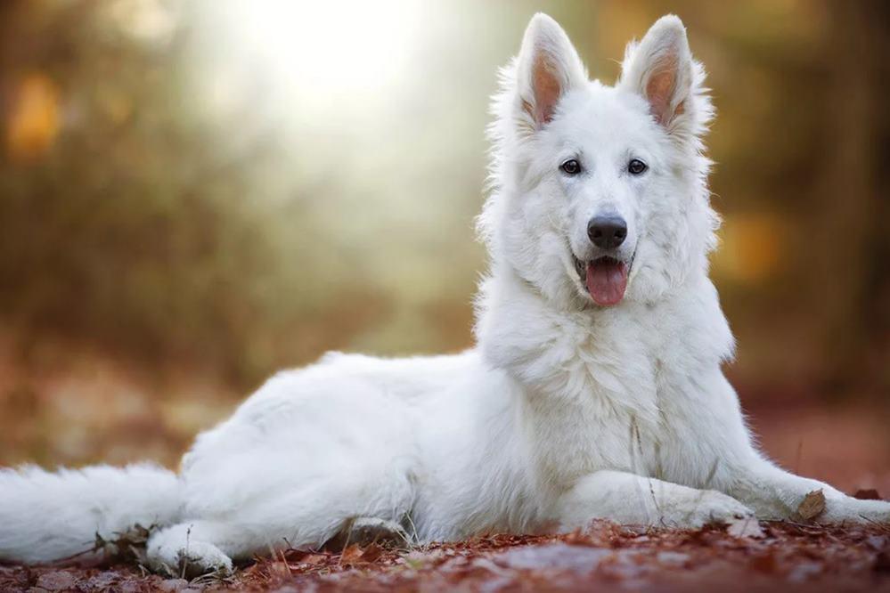 belaja-shvejcarskaja-ovcharka