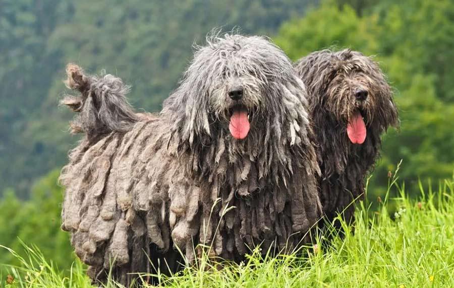 """большая собака с """"дредами"""""""