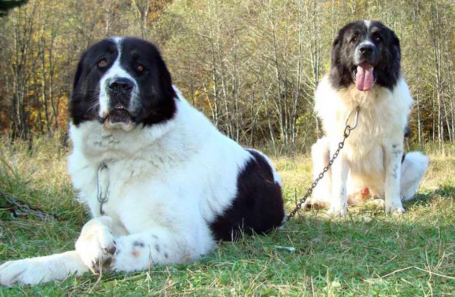 Румынская собака