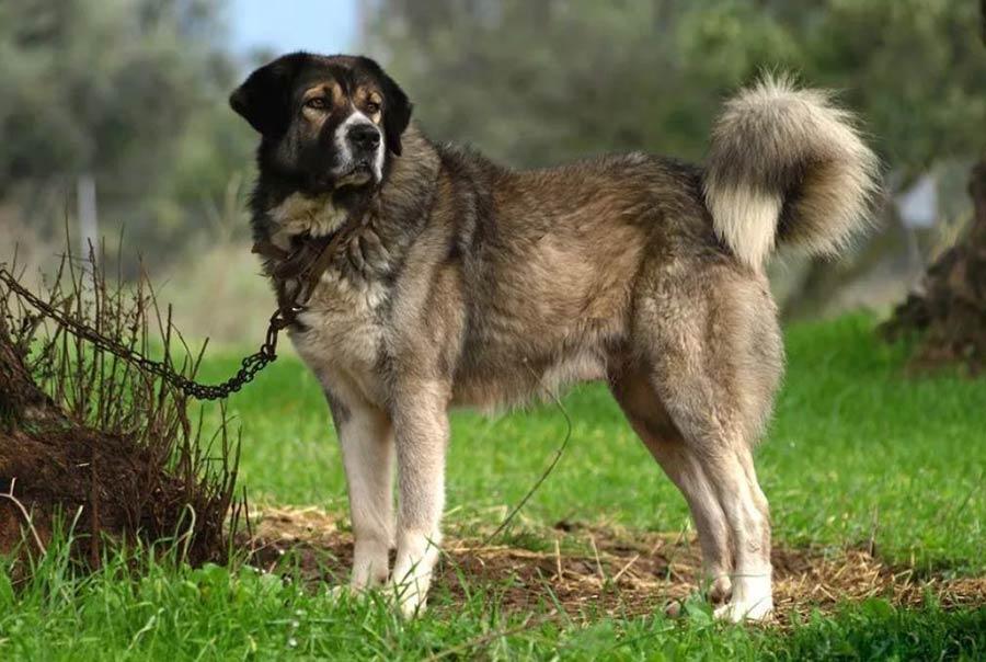 большая собака на фото