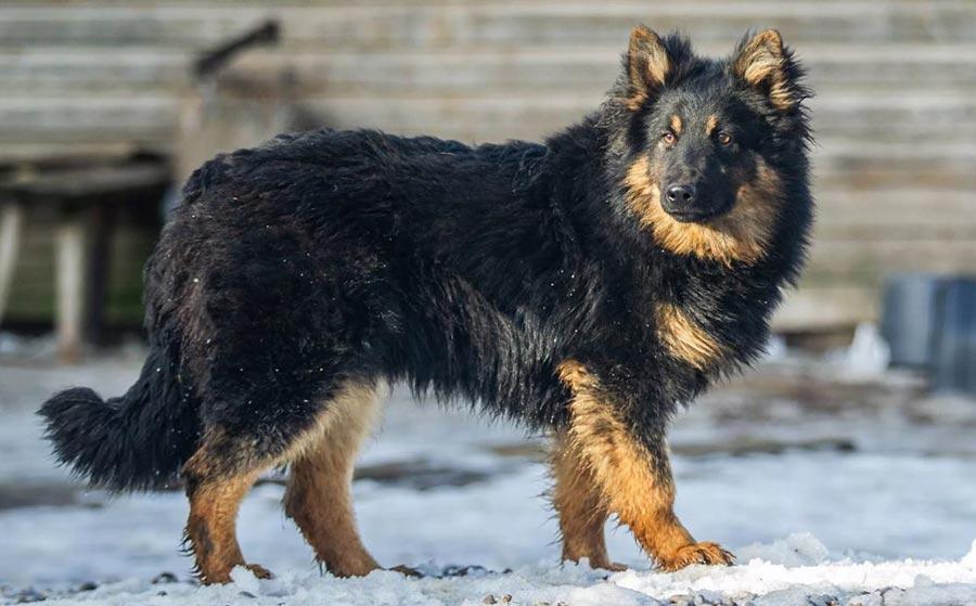 Ходский пёс