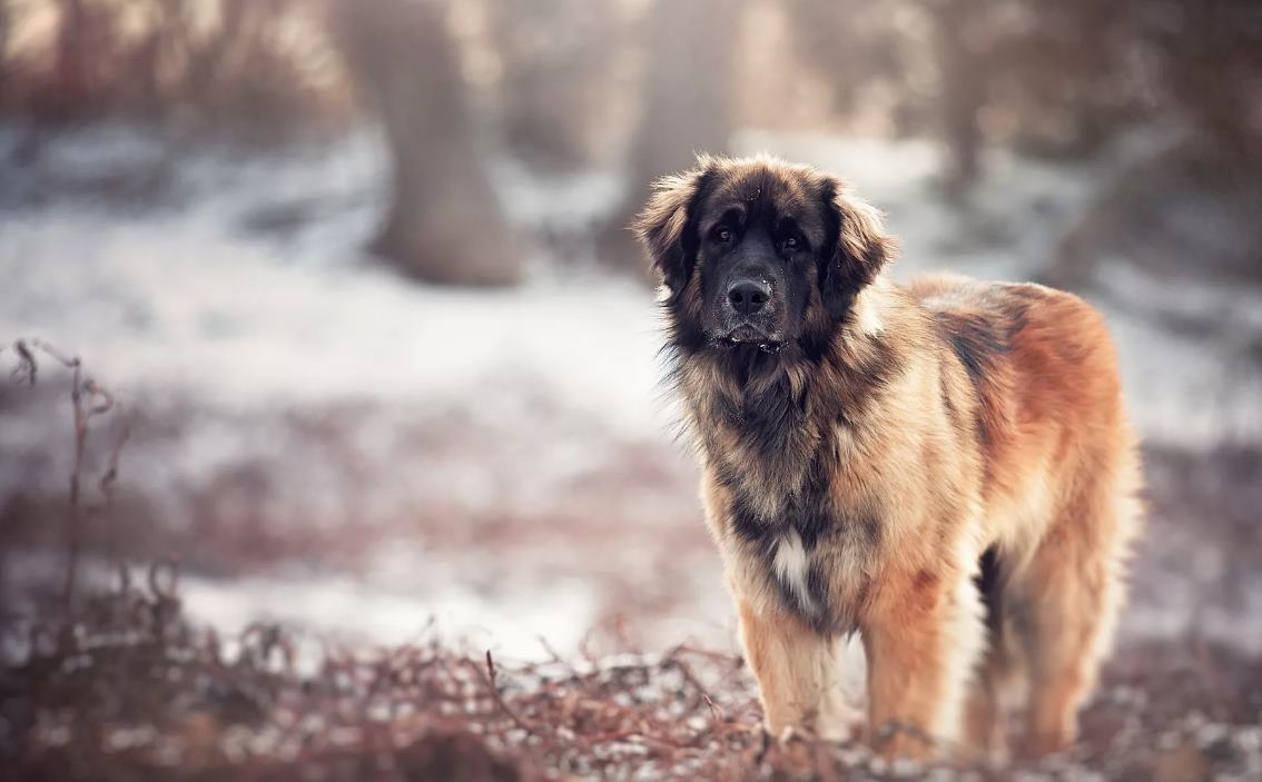кавказец собака