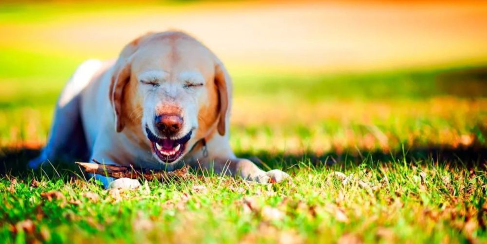 собака чихает и кашляет