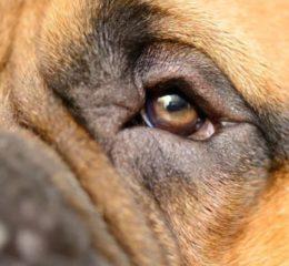 Как и чем лечить конъюнктивит у собаки: виды заболевания с фото и описанием