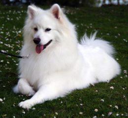 Белоснежный красавец - Американский эскимосский шпиц (Эски)