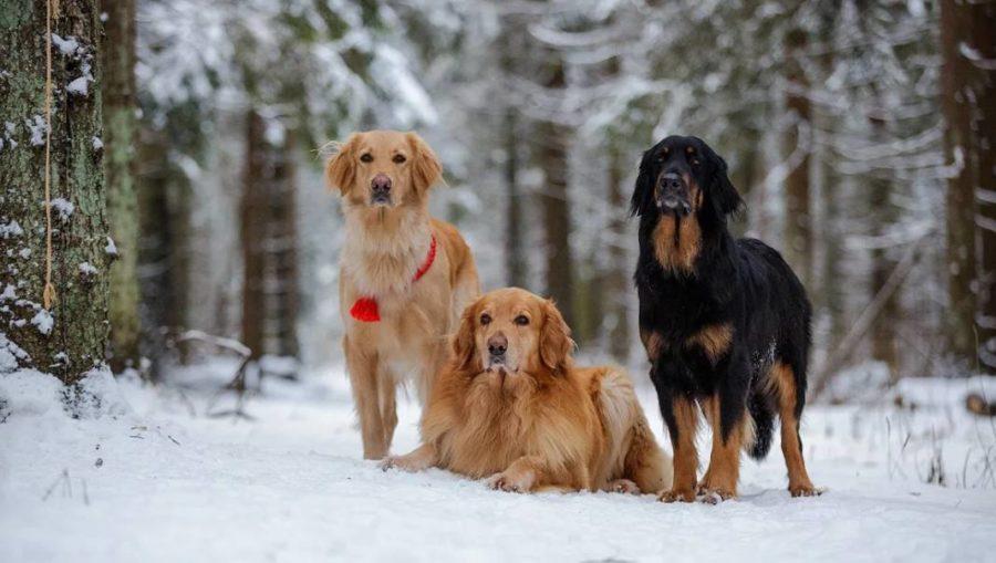 ховаварт собаки