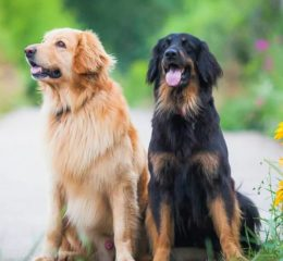 Спокойная дружелюбная и ласковая собака из Германии - Ховаварт