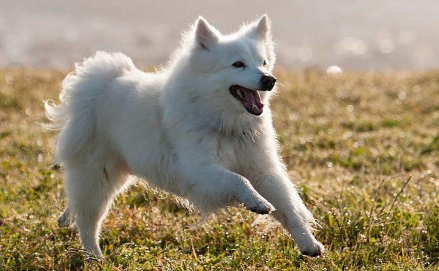 собака эски