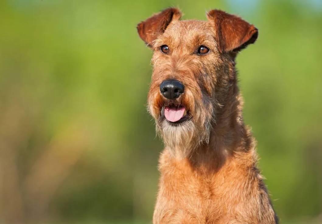 красивый рыжий пес
