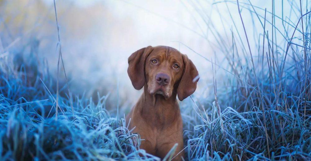 Венгерская легавая собака