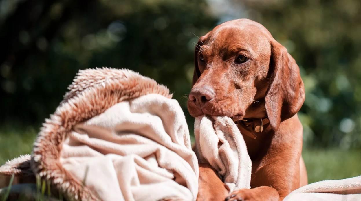 на фото щенок охотничей собаки