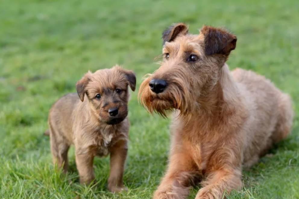 Ирландский терьер с щенком