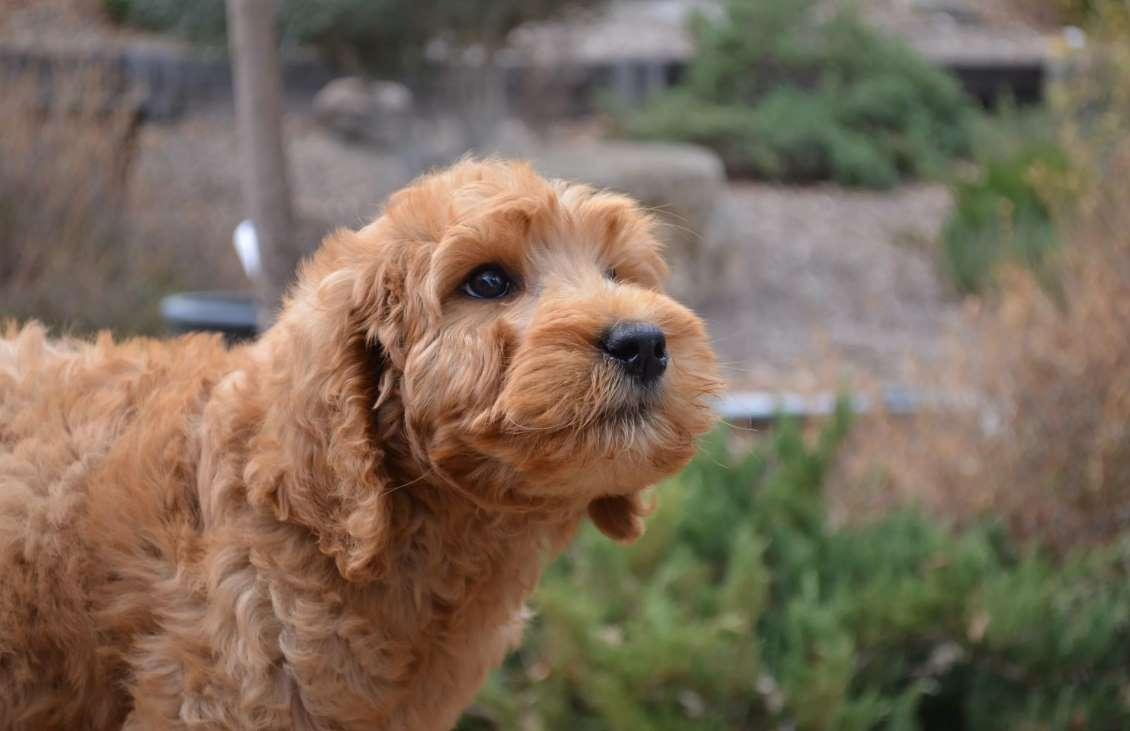 фото щенка лабрадудля
