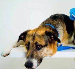 Собака после стерилизации: особенности ухода и ответы на главные вопросы