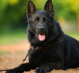 Красавица - черная немецкая овчарка: гладкошерстная и длинношерстная, фото, уход