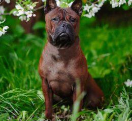 Необычная и редкая порода собак - Чунцин или Китайский бульдог