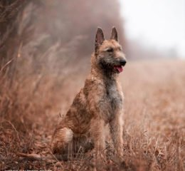 Редкая в России порода бельгийских овчарок - Лакенуа